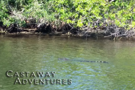 Alligator on nature tour with Cast Away Adventures Cocoa Beach Florida