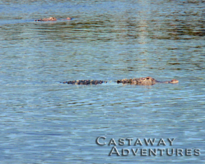 Alligator on Cast Away adventures nature tour