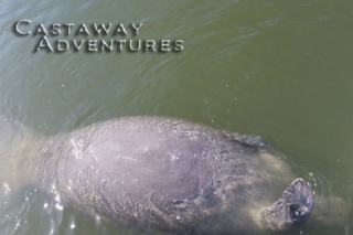 Manatee tours with Cast Away Adventures in Cocoa Beach