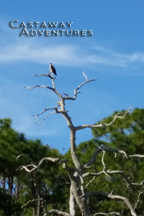 Osprey on nature tour Cocoa Beach Florida