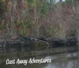 Alligator Cast Away Adventures nature tours